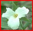 Provincial Flower of Ontario the Trillium